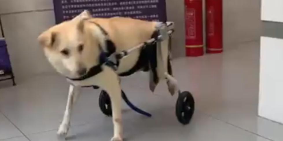 xiaobai - crippled